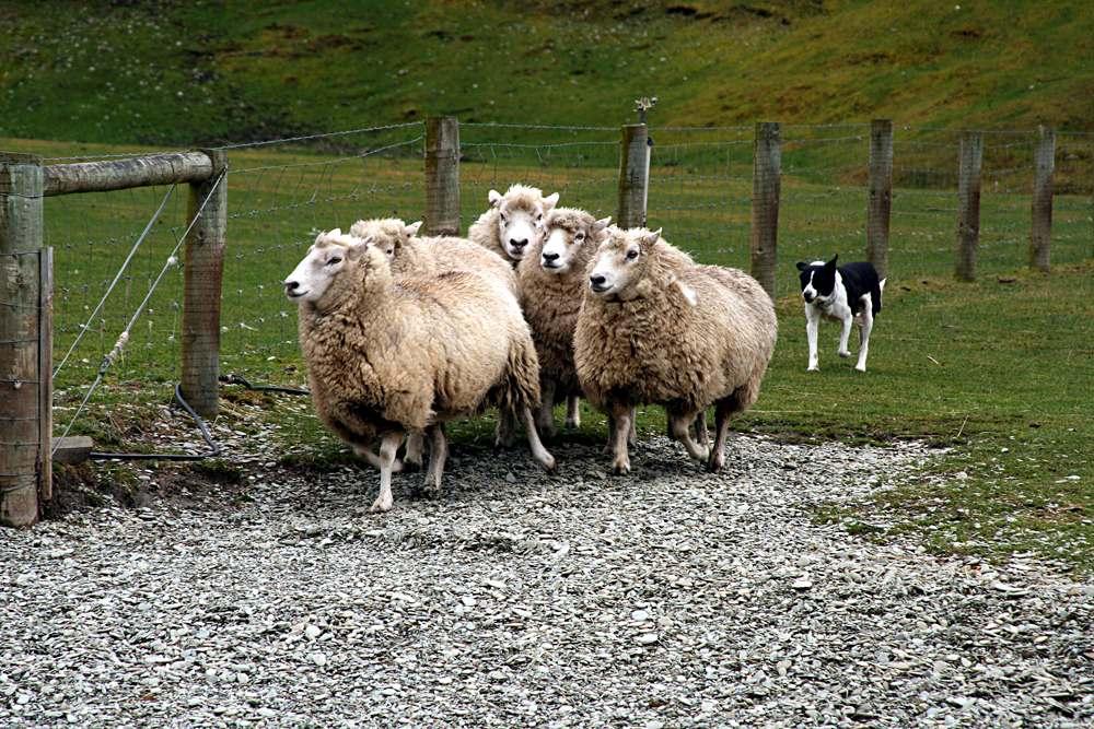 Eye-dog rounding up sheep, New Zealand