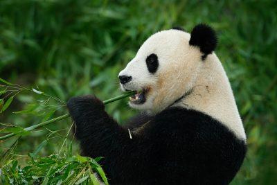 Giant Panda feeding on bamboo, Wolong National Nature Reserve, Chengdu, China