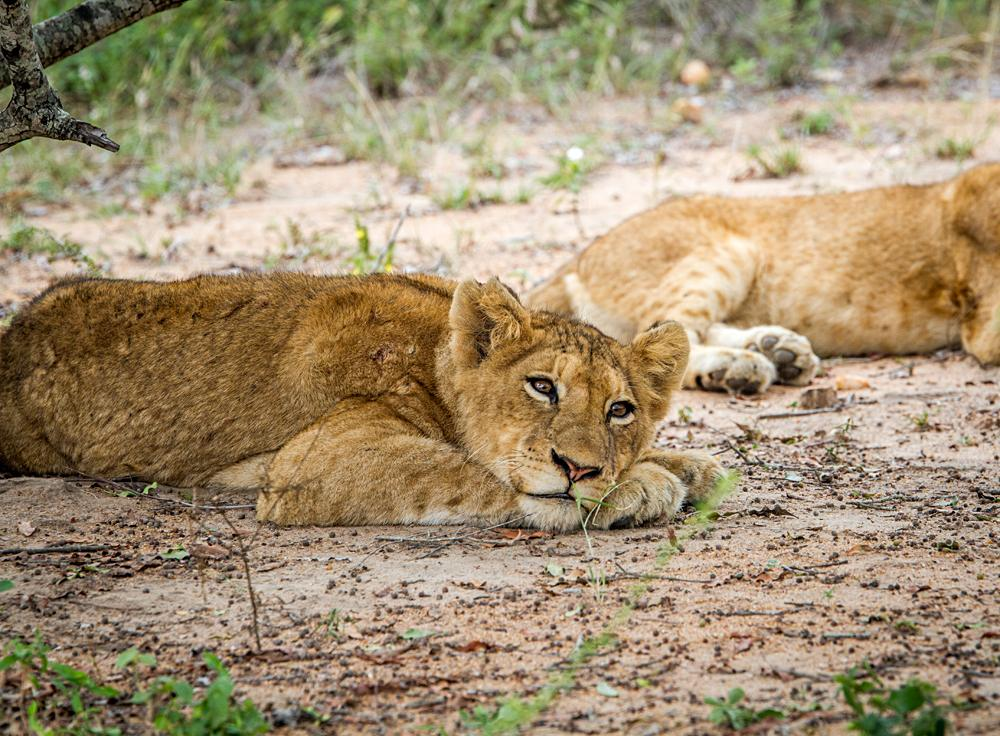 Laying Lion cub in the Kapama Game Reserve, South Africa