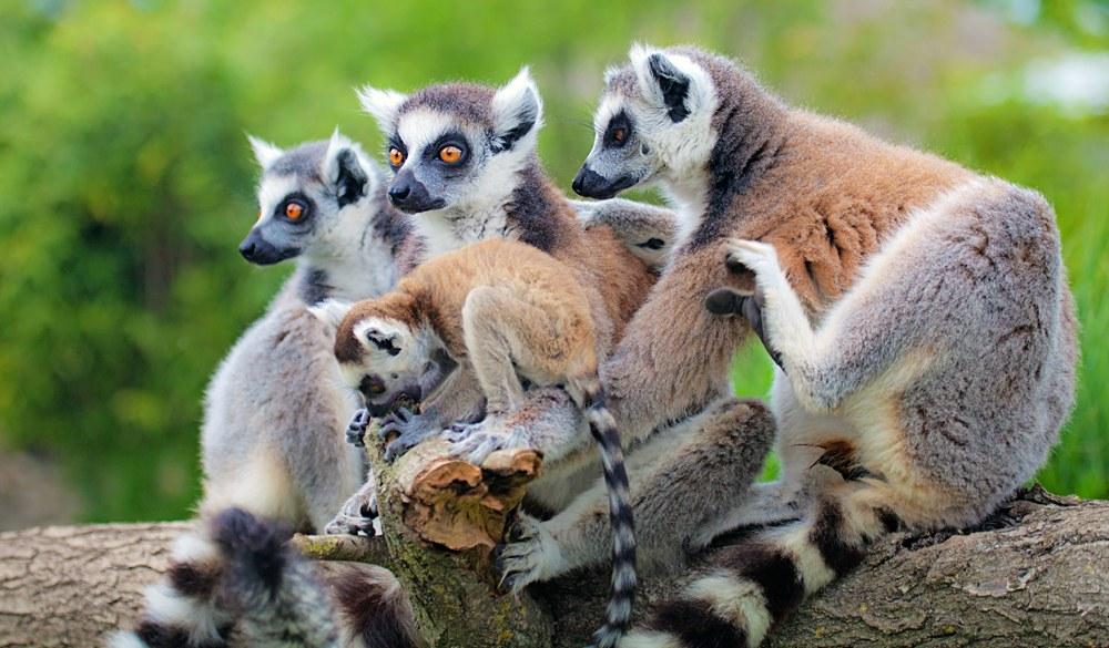 Lemurs' Park lemurs, Madagascar