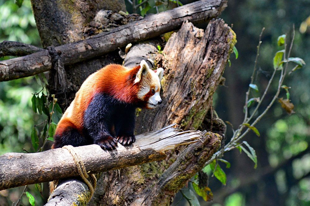 Red panda at Darjeeling Zoo, India