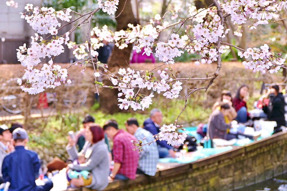 Sakura (Cherry Blossom) tree with the small canal and the background of people celebrating Hanami, Japan