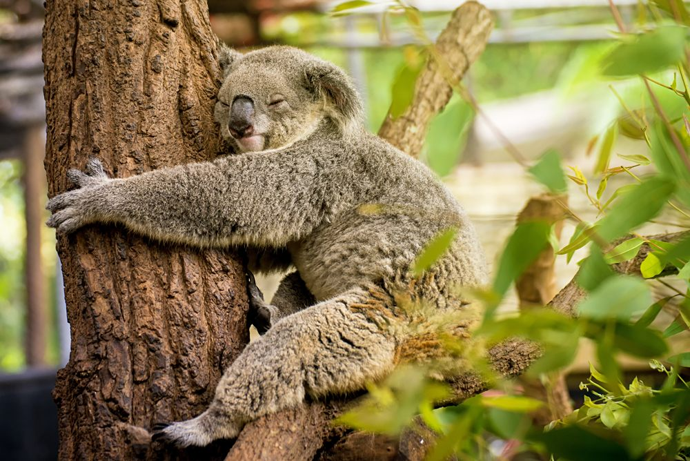 Sleeping koala on eucalyptus tree, Lone Pine Koala Sanctuary, Brisbane, Australia