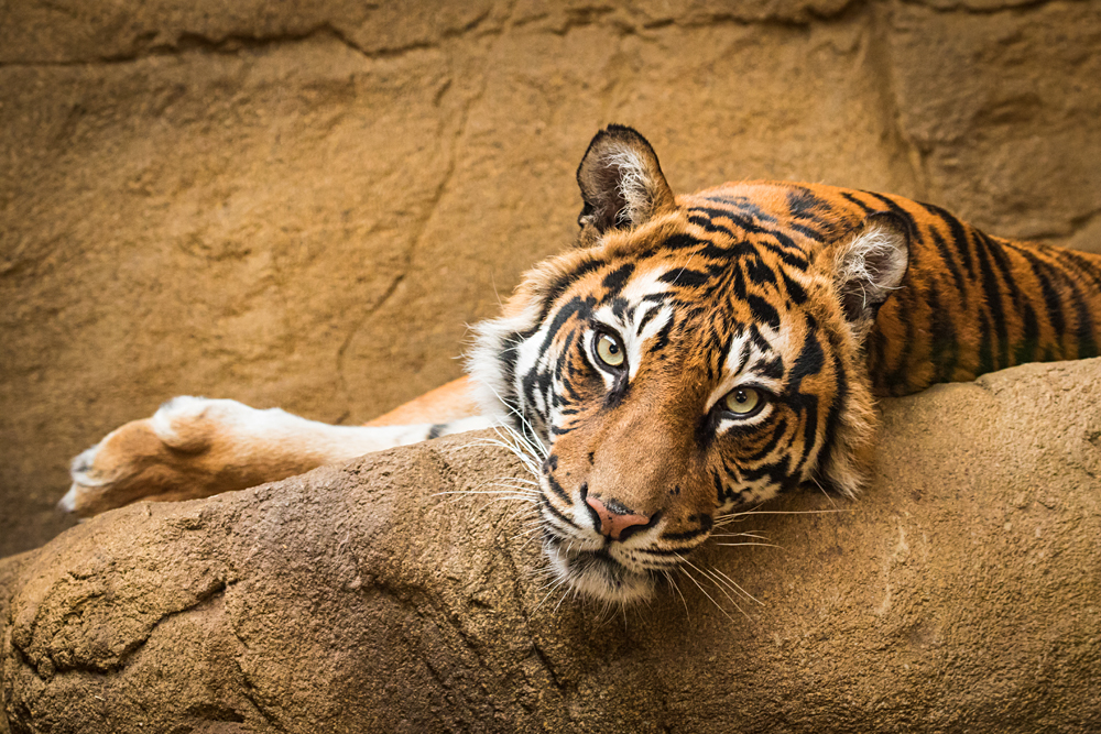 Tiger at London Zoo, London, England, UK (United Kingdom)