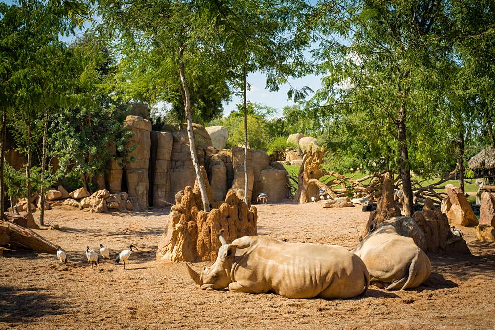 Two rhinos lying on the sand in Bioparc Valencia, Spain