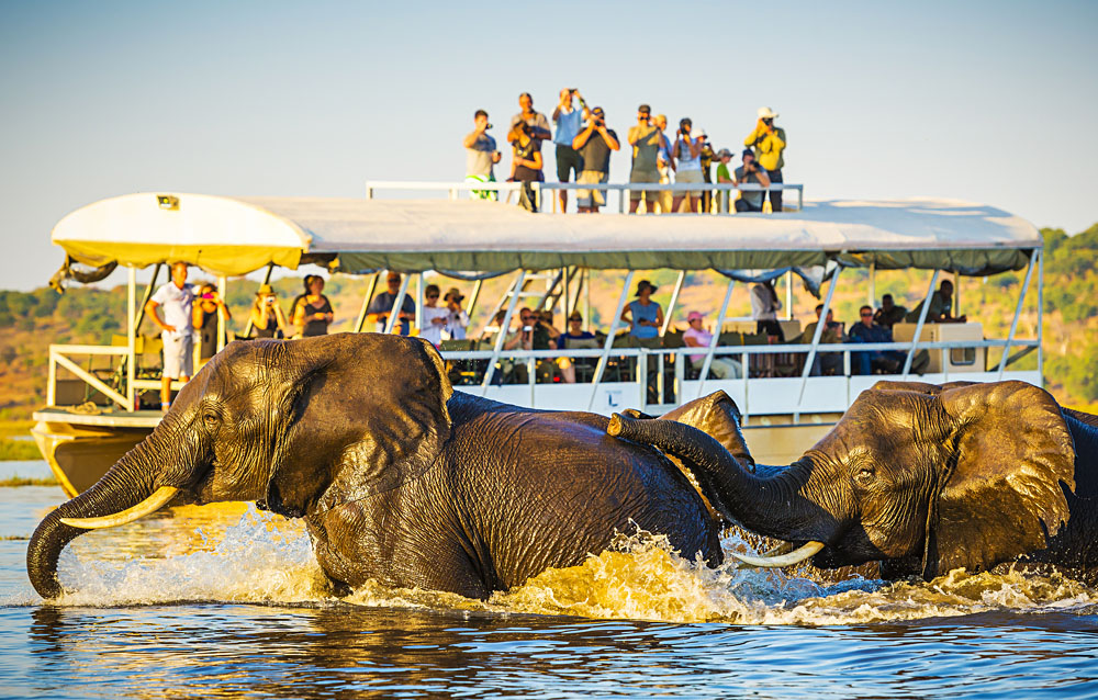 African Elephants swimming across the Chobe River, with tourists on safari watching on, Botswana