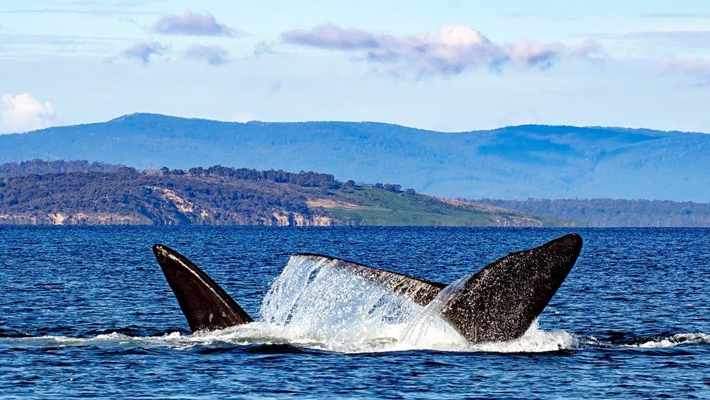 Southern Right Whales, Tasmania, Australia