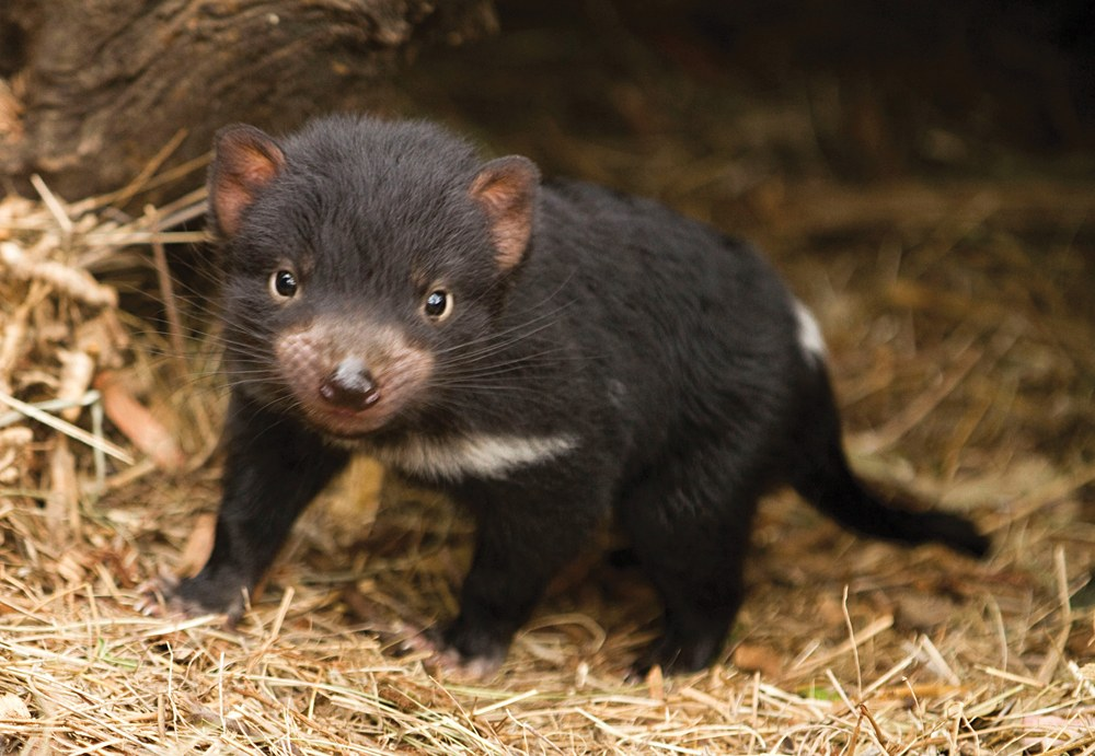 Tasmanian Devil, Bonorong Wildlife Sanctuary, Tasmania, Australia