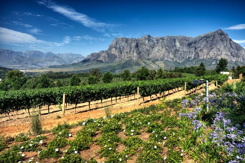Vineyards of the Stellenbosch district with the Simonsberg mountain in the background, Western Cape, South Africa