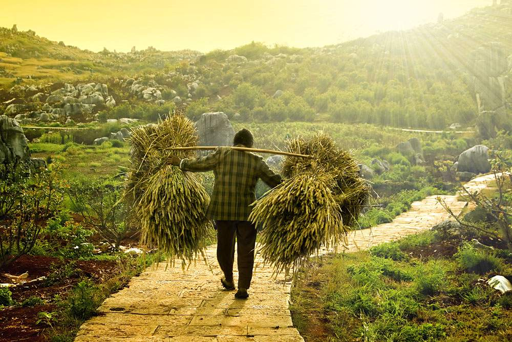 Farmer in Asia carrying wheat, China