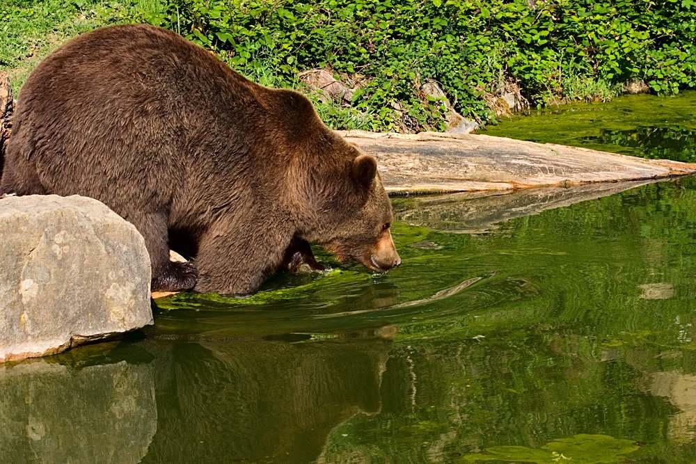 European brown bear in Langenberg Wildlife Park, part of Zurich Wildlife Park, Zurich, Switzerland