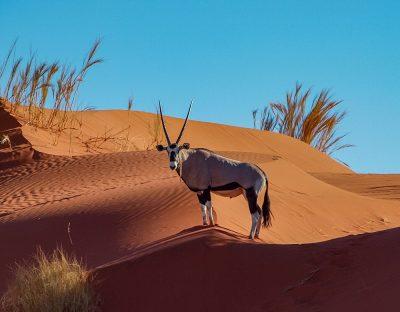 Oryx in desert dunes, Namibia