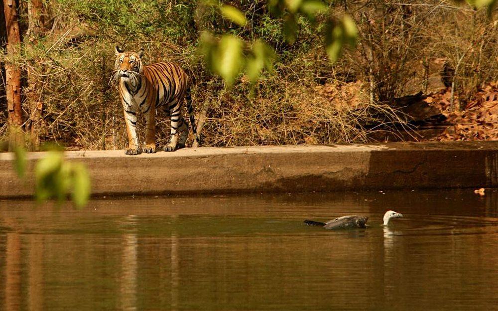 Bengal Tiger in Panna National Park, India
