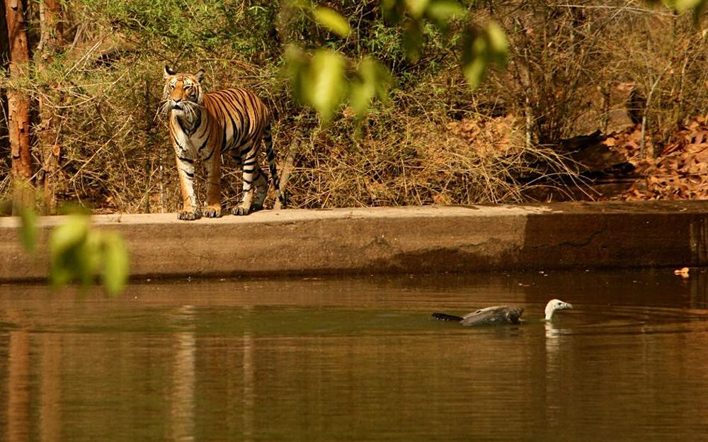 Bengal Tiger in Panna National Park, India