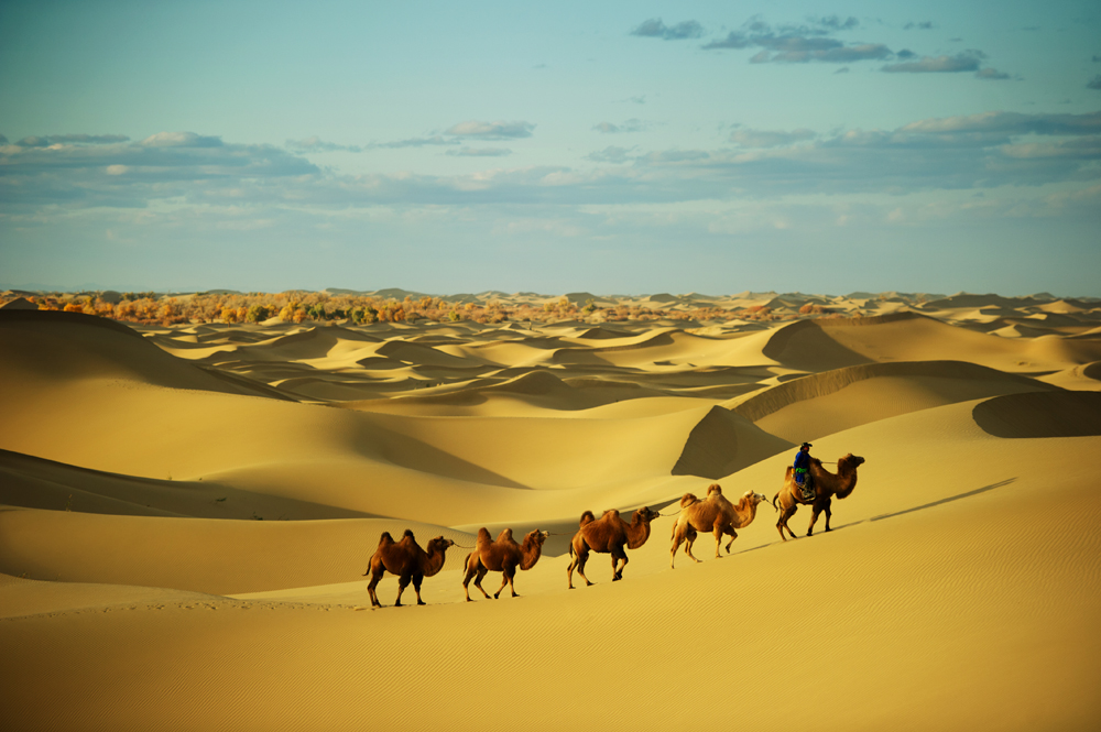 Camel caravan going through the sand dunes, Sahara Desert, Morocco