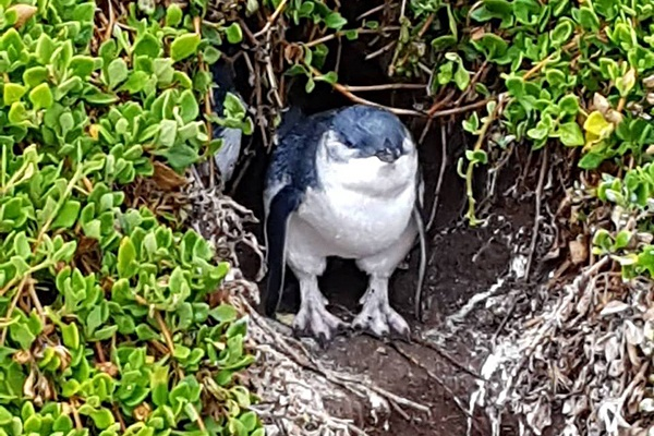 Christian Baines - Little Penguin coming out of its burrow, Phillip Island, Victoria, Australia