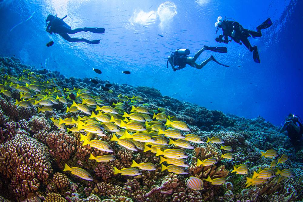 Divers and school of Yellowfin goatfishes above the coral reef of Fakarava, Tuamoto Islands, Tahiti (French Polynesia)