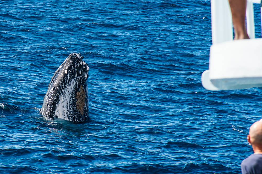 Humpback Whale Watching in Tonga