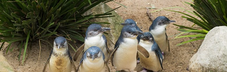 Little Blue Penguins, Australia
