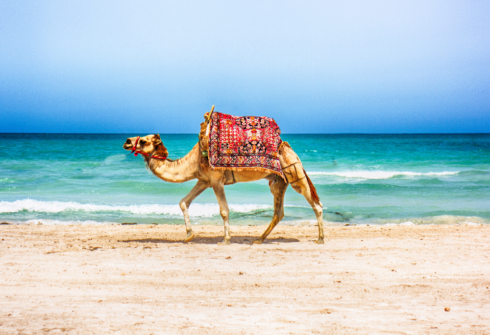 Camel walking on a Tunisian beach, Tunisia