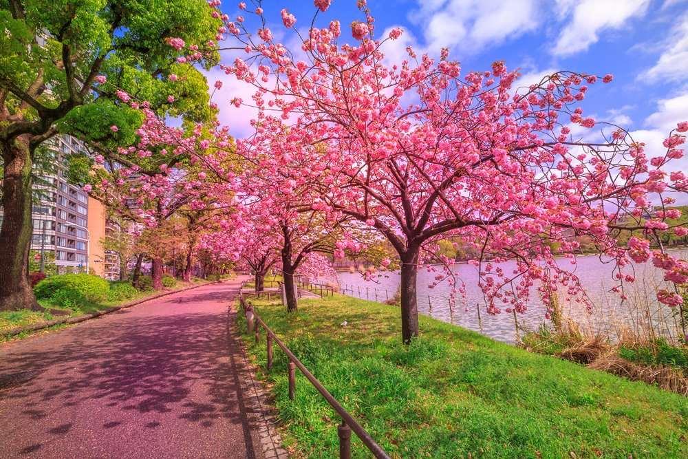 Cherry trees in full bloom during Hanami along Shinobazu Pond in Ueno Park, Tokyo, Japan