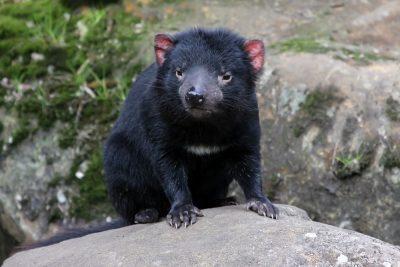 Close up of a Tasmanian devil, Cradle Mountain National Park, Tasmania, Australia