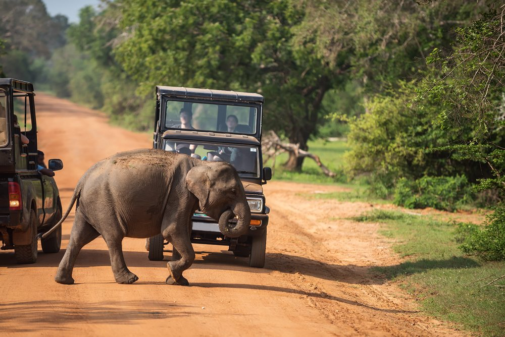 Wild baby elephant crossing road in Yala National Park, Sri Lanka