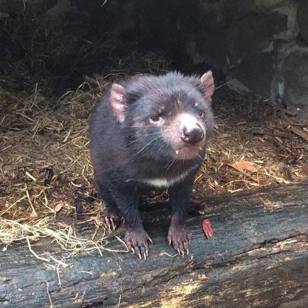 Christian Baines - Tasmanian Devil, Tasmania, Australia - Photo Credit - DeanMunroe