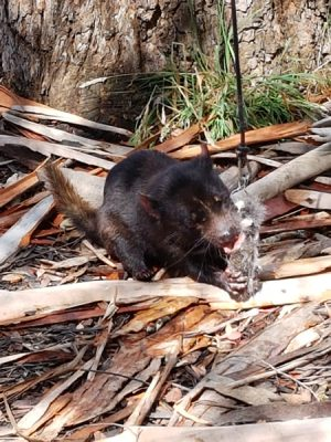 Christian Baines - Tasmanian Devil having a snack, Tasmania, Australia