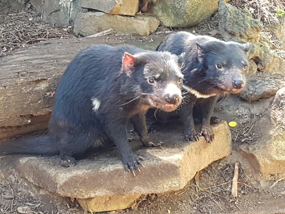 Christian Baines - Tasmanian Devils, Tasmania, Australia