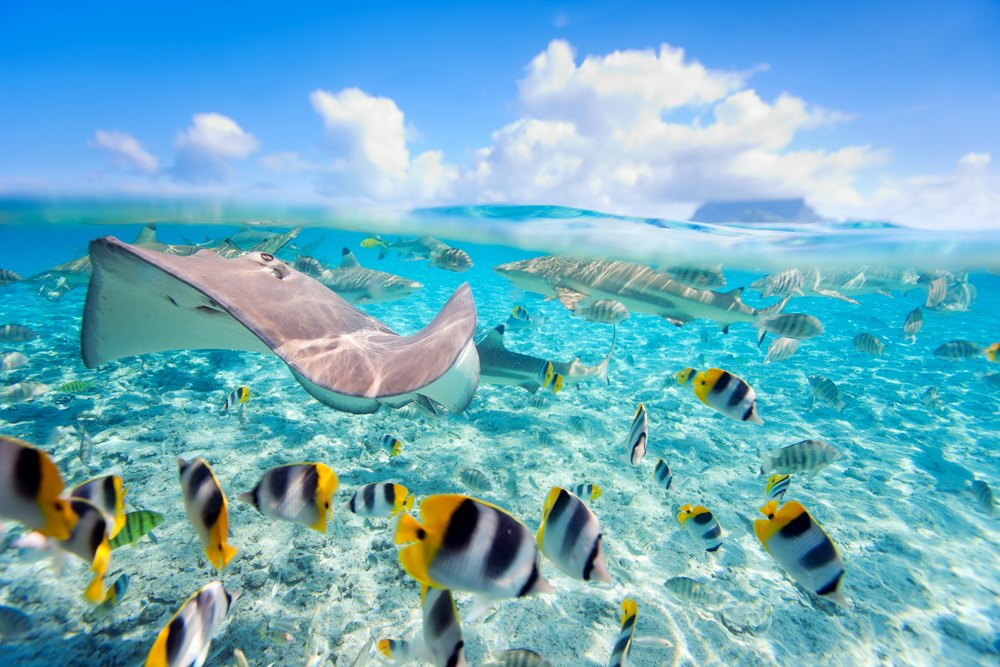 Colorful fish, stingray and black tipped sharks underwater in Bora Bora lagoon, Tahiti (French Polynesia)