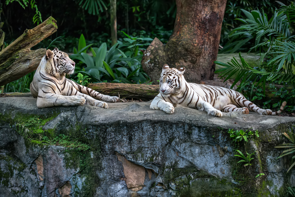 Two white tigers resting on a rock at Singapore Zoo, Singapore