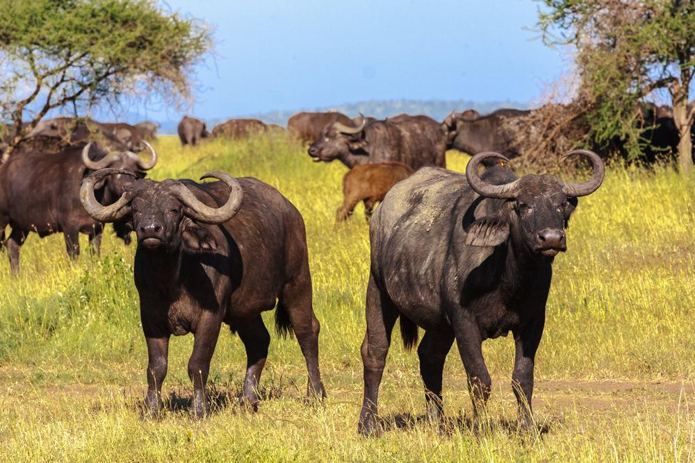 Close up of Cape buffalo in the Serengeti, Tanzania