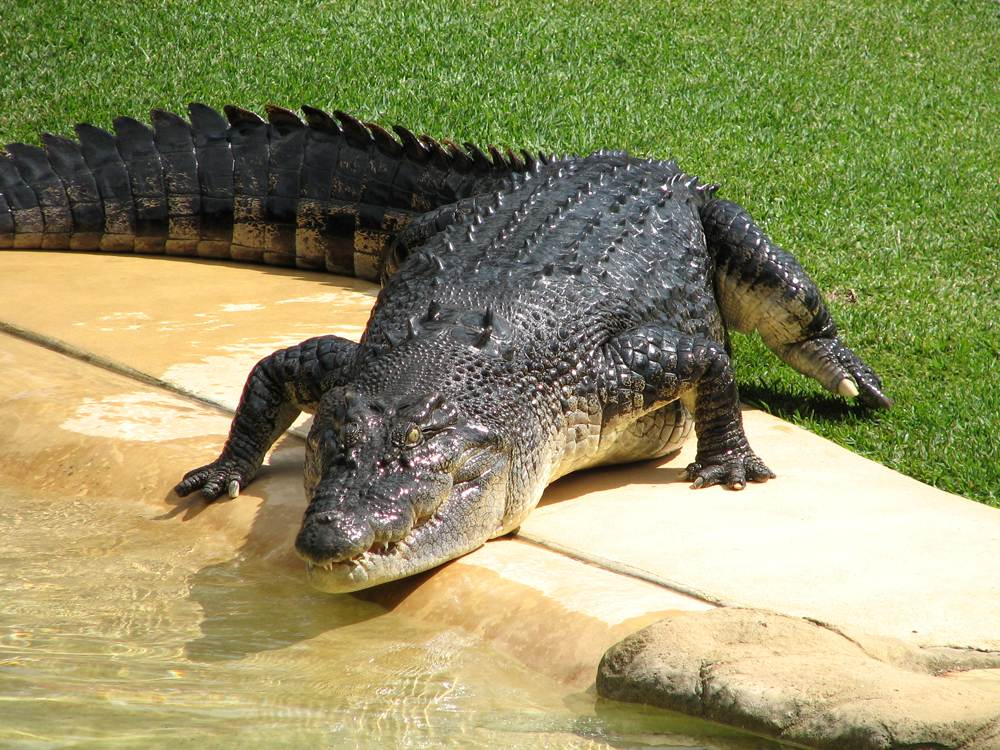 Crocodile at Australia Zoo in Sunshine Coast, Queensland, Australia