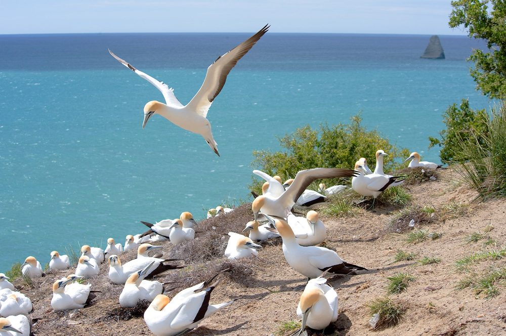 Janie Robinson - Cape Kidnappers gannet colony, New Zealand