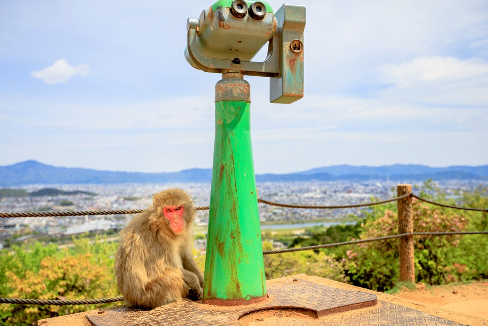 Japanese macaque sitting at the base of observation binoculars in Iwatayama Monkey Park, Arashiyama, Kyoto, Japan