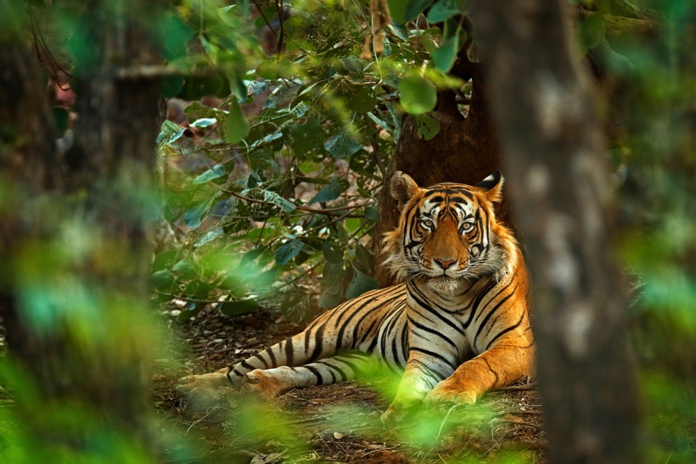 Male Bengal tiger in its natural habitat, Ranthambore National Park, India