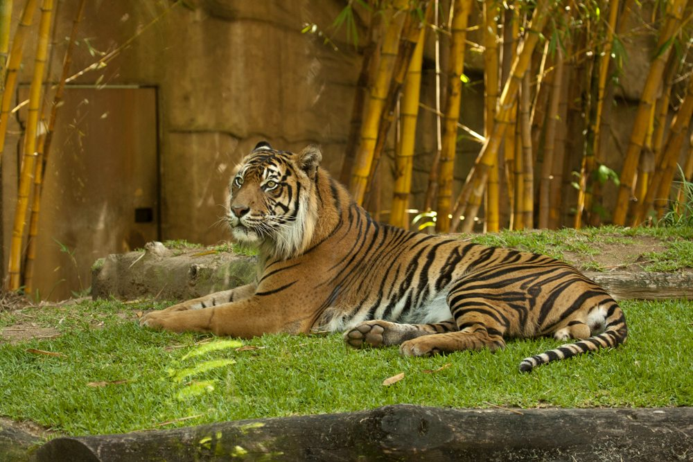 Resting Bengal tiger at Australia Zoo, Sunshine Coast, Queensland, Australia