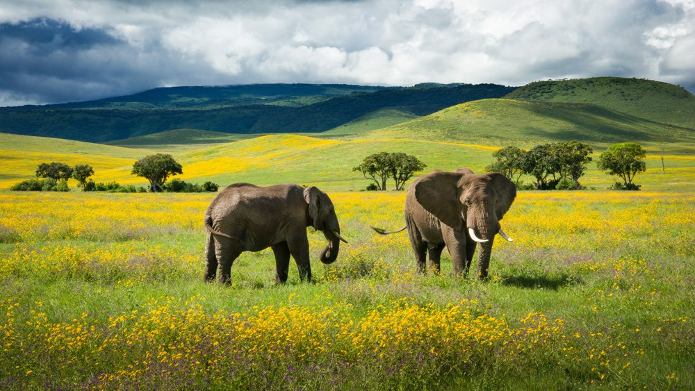 Elephants and yellow wild flowers in Ngorongoro Crater, Tanzania