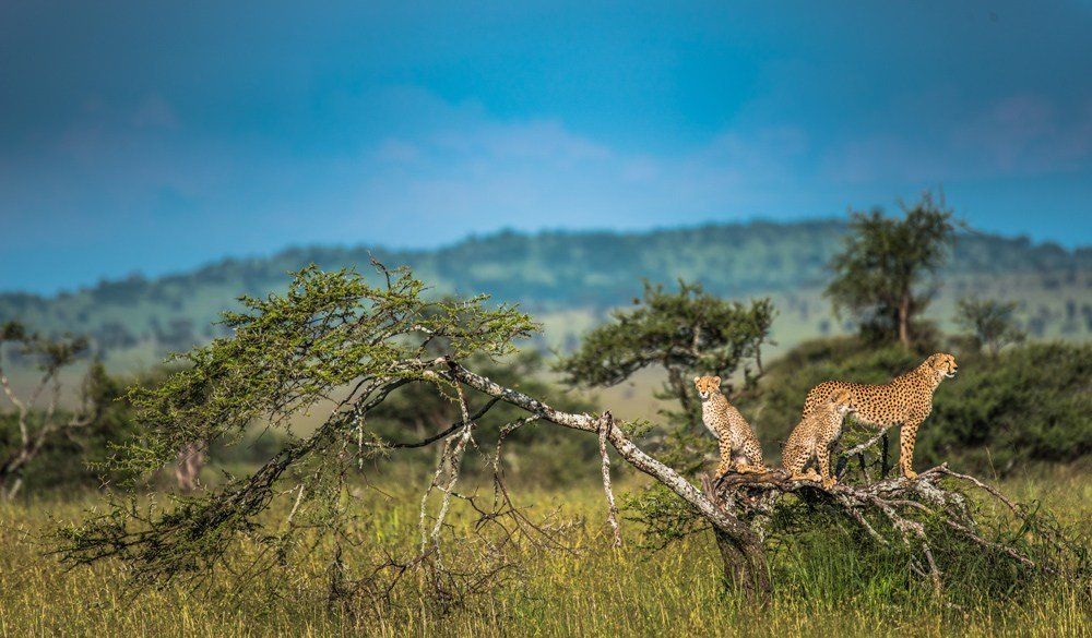 Family of cheetahs on high ground spotting for prey during the wet season, Serengeti, Tanzania