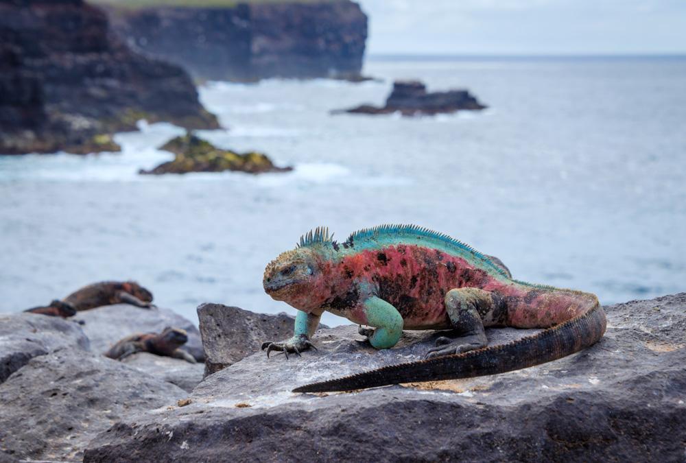 Marine iguana in Punta Suarez, Espanola Island, Galapagos Islands, Ecuador
