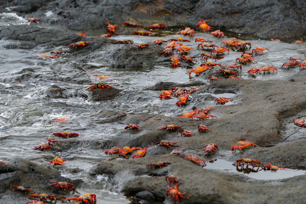 Sally Lightfoot crabs on the lava on Santiago Island in the Galapagos Islands, Ecuador