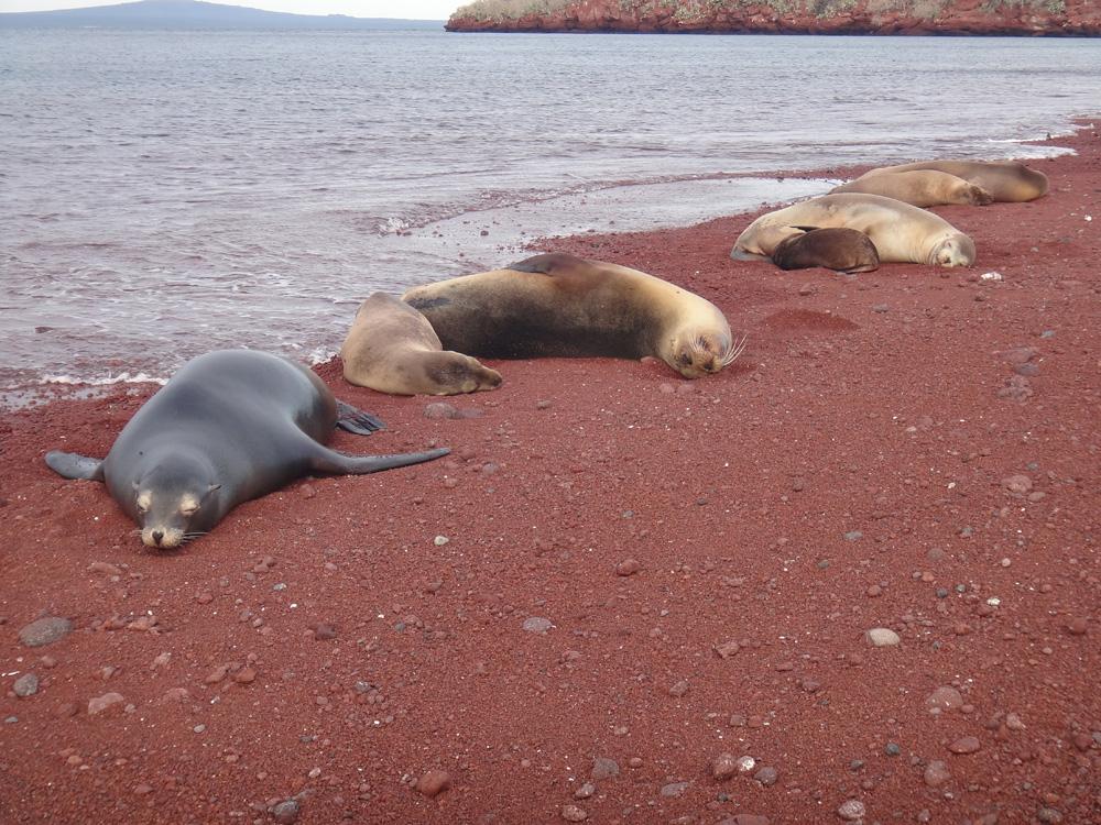 Sea lions relaxing on Rabida Island, Galapagos Islands, Ecuador