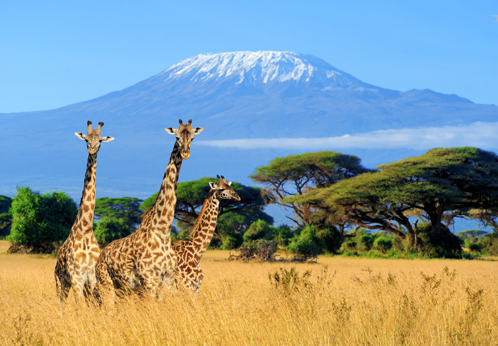 Three giraffe with Mt Kilimanjaro in background in Amboseli National Park, Kenya