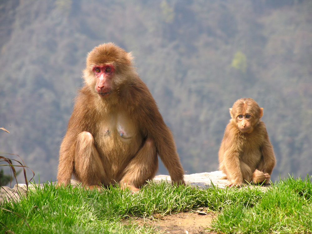 Tibetan macaques in Emei Mountains (Emeishan), Sichuan province, China