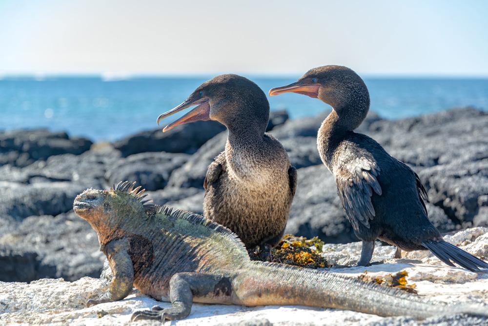 Two flightless cormorants and a marine iguana on Fernandina Island in the Galapagos Islands in Ecuador