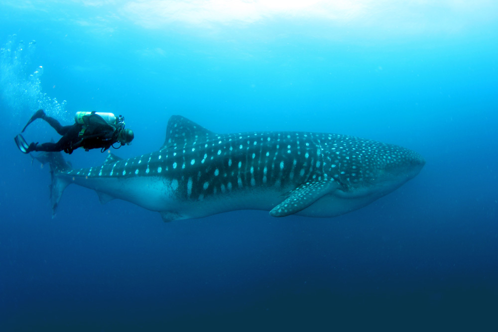 Whale shark with a diver in Darwin and Wolf in Galapagos Islands, Ecuador