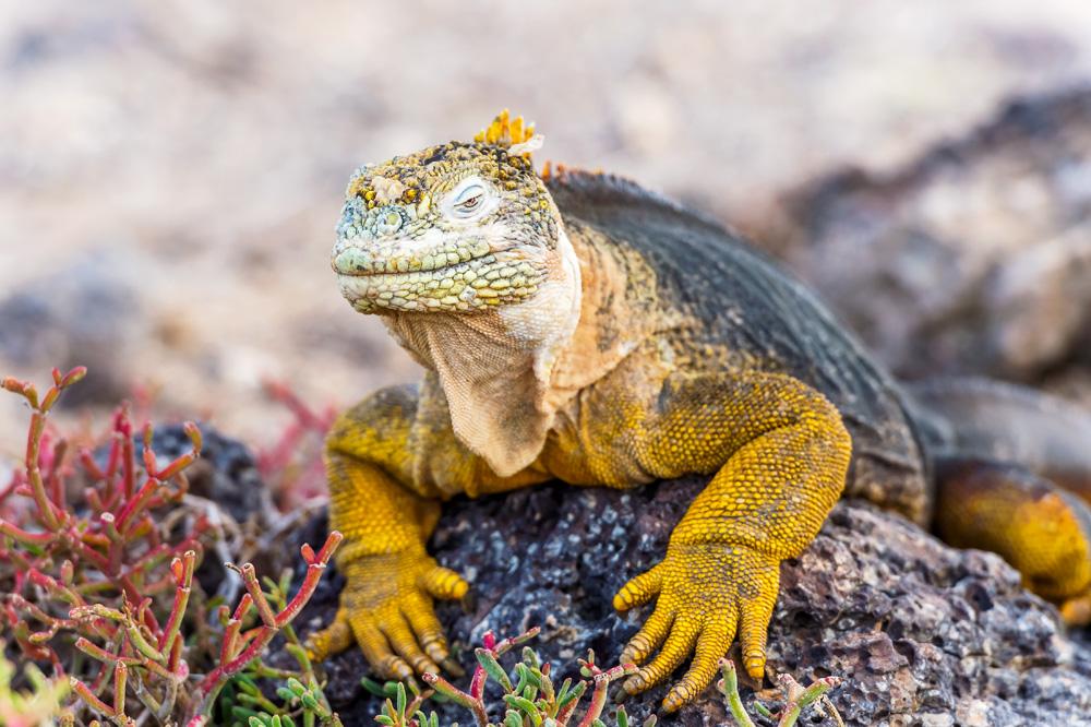 Wild land iguana on Santa Fe Island in Galapagos Islands, Ecuador