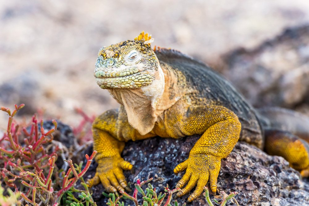 Wild land iguana on Santa Fe Island in Galapagos Islands, Ecuador
