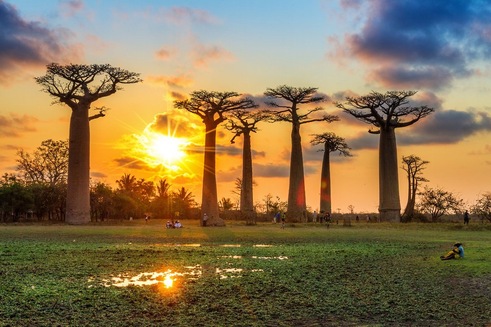 Baobab trees at sunset at the Avenue of the Baobabs in Madagascar